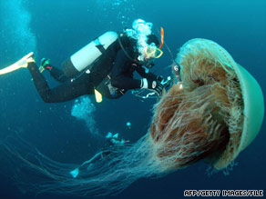 A diver attaches a sensor to a Nomura's jellyfish off the coast of northern Japan in October 2005.