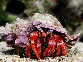 No thanks for the memories: The scientific study applied mild electric shocks to hermit crabs to determine if they could 'feel' pain.