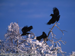 Common ravens, contrary to what was thought, sometimes forage in gangs.
