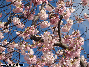 Thousands of Americans flock to Washington each spring for the annual festival celebrating the blossoming of the cherry trees.