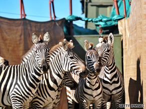Zebra's being rounded up to be shipped away.