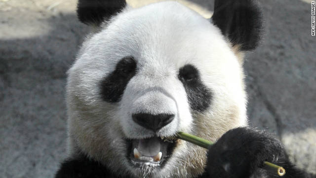 Report Panda May Have Faked Pregnancy For More Food