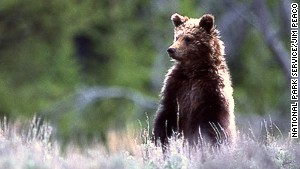 Alaska is commonly associated with grizzly bears but you can also see them in Yellowstone National Park (pictured).