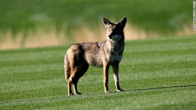 Coyotes may soon be hanging out in your backyard