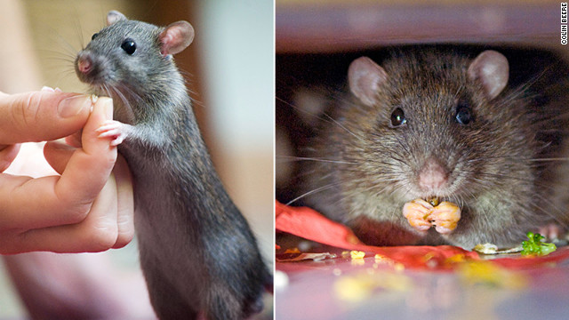 Meet the lovable Mr. Tiffany (Mr. T for short): pen thief, beer drinker, and all-around lovable rodent.