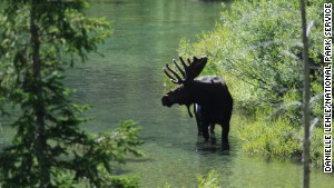 You can sometimes spot bull moose in Cascade Canyon in Grand Teton National Park.