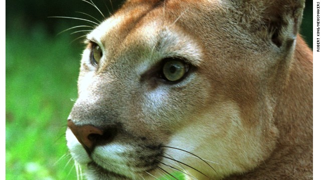 Once prevalent throughout the mainland United States, the cougar (aka, panther/puma/catamount) is largely isolated to a dozen or so western states and Florida (pictured).