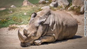 San Diego Zoo Safari Park announced that Angalifu, one of six remaining northern white rhinos in the world, died Sunday.\nCredit: \tSan Diego Zoo/Helene Hoffman\n