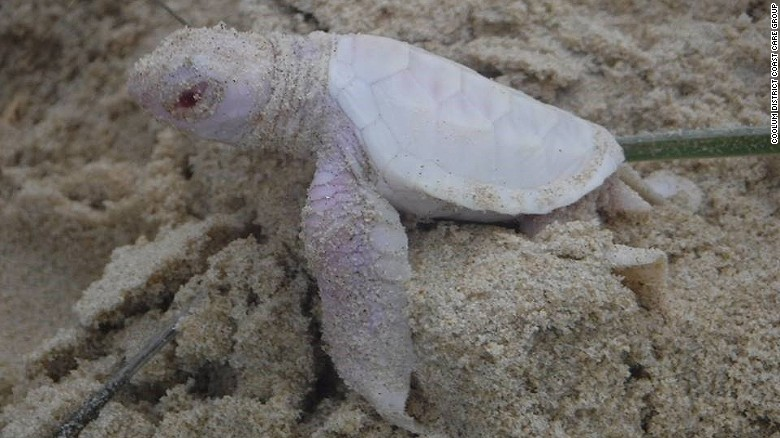 Alby, the albino Green turtle, hatched at Castaways Beach, near Noosa in Queensland, Australia at the weekend.