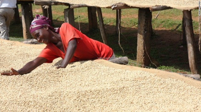 Coffee beans must be extracted from their cherries then cleaned and dried.