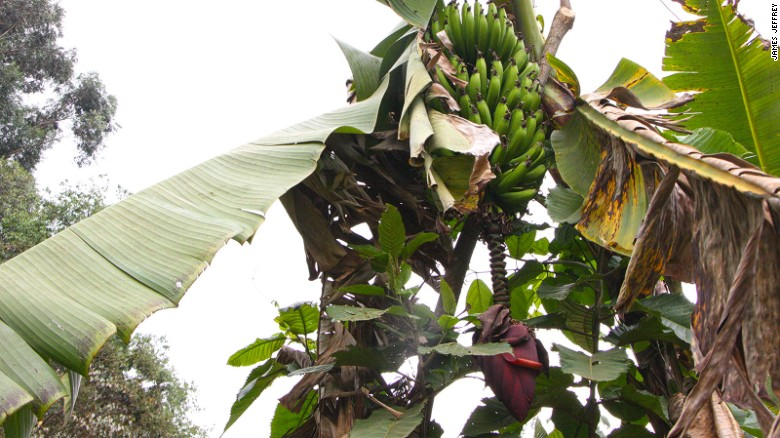 A banana tree in the forest with its distinctive purple flower growing downward.