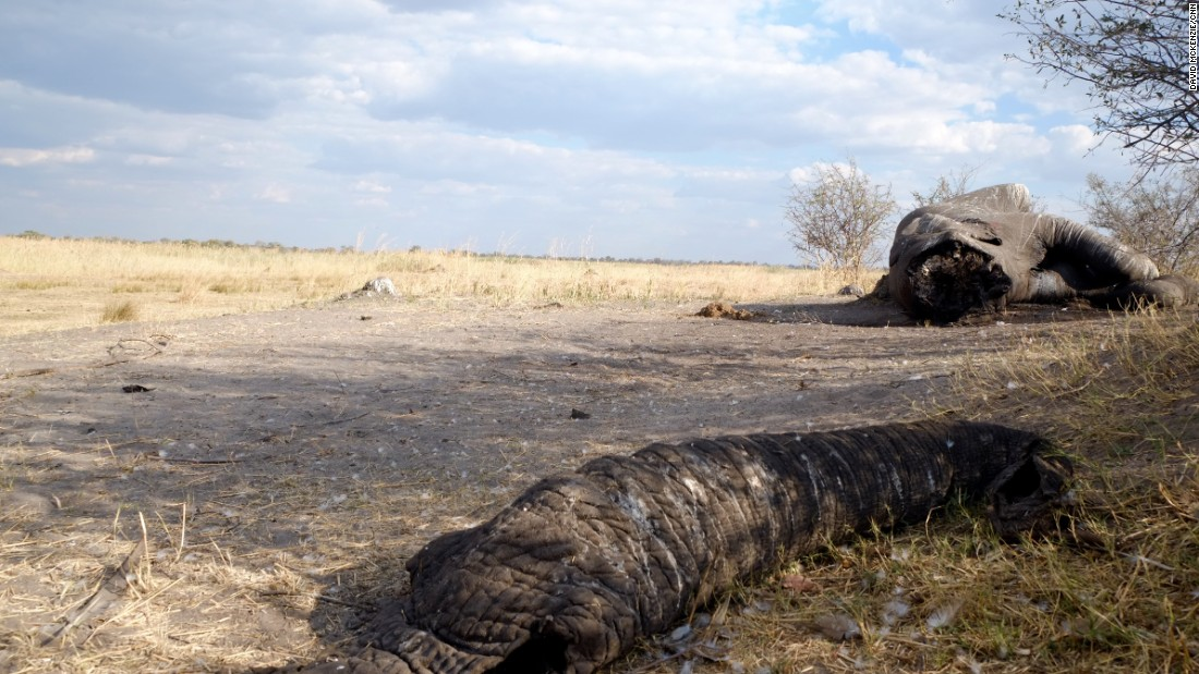 A bull elephant killed by poachers on the border of Botswana and Namibia, its face hacked off for its valuable ivory tusks.