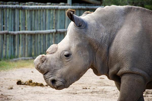 Sudan, northern white rhino