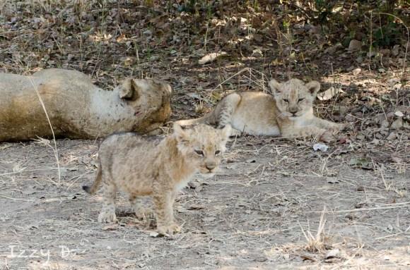 LeopardandlionsIzzy3.122706.jpg