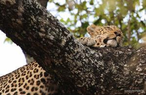 Leopard6OctHadley1.093448.jpg