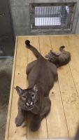 【美洲狮】小崽子缠着妈妈的腿不放