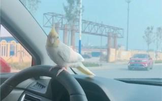 【玄凤团团】带傻鸟出来玩,。站在方向盘上兜兜风