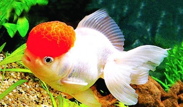 怎樣養風水魚才能轉運旺財 - 每日頭條