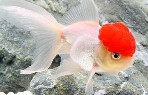 寵物金魚鶴頂紅 - 每日頭條