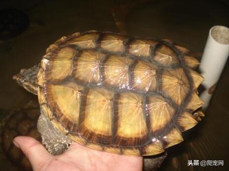 鱷龜的四個品種哪個最好養呢? - 每日頭條