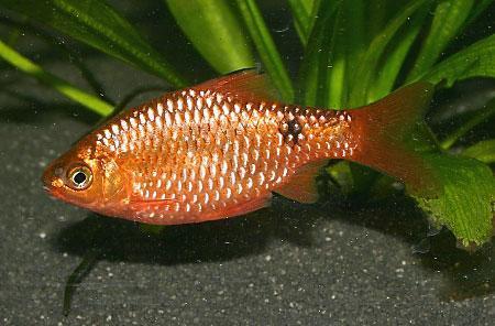 小型熱帶觀賞魚——玫瑰鯽 - 每日頭條