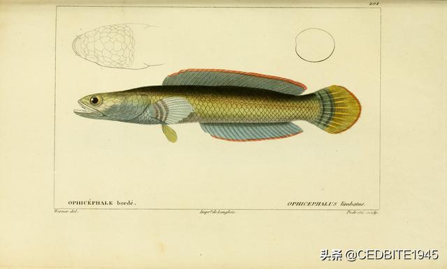 不死傳說——最好養的觀賞魚系列之彩虹雷龍篇 - 每日頭條