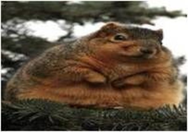 Fat Squirrel Know Your Meme