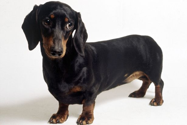 A dachshund dog