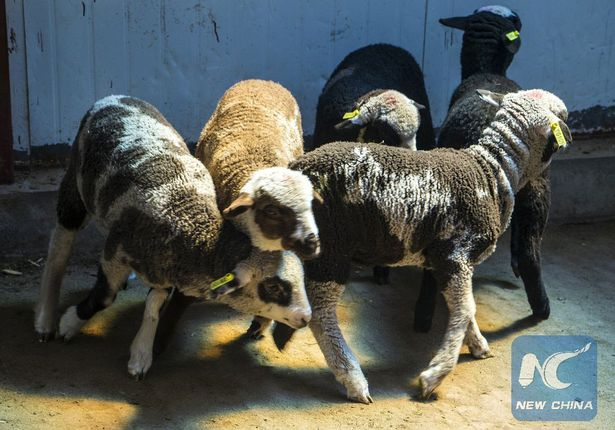 The first five sheep bred using CRISPR-Cas9 technology have been put on show