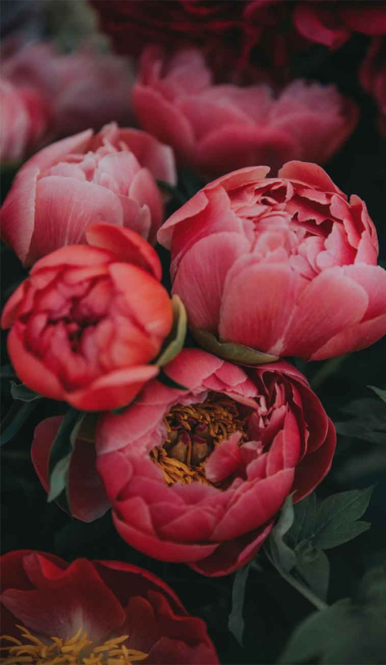 Bright Pink Peonies Idea Wallpapers Iphone Wallpapers Color Schemes