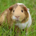 What Are The Best Toys For Guinea Pigs