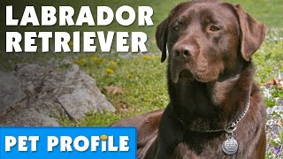 Download Labrador Retriever Pet Profile | Bondi Vet Video