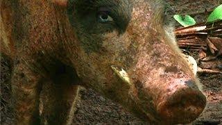 Download The Real Piggy Bank - Vanuatu Video