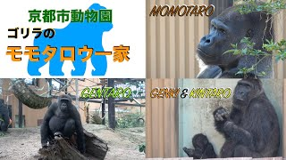 Download 京都市動物園・ニシゴリラのモモタロウ一家(Kyoto city zoo・Momotaro family of western gorilla ) Video