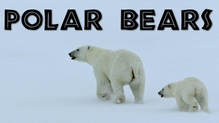 Download All About Polar Bears for Kids: Polar Bears for Children - FreeSchool Video