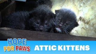 Download Tiny kittens born in an attic - their mom was watching closely as we pulled them one-by-one. Video