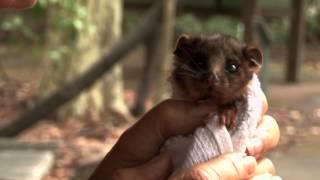 Download cute ring tail possum Video