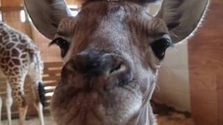 Download Beautiful picture of the baby Giraffe - Tribute to Animal Adventure Park Video