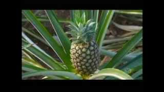 Download How Its Made Pineapples Discovery Channel Video