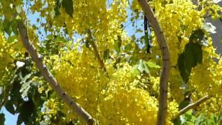 Download Hermosa Lluvia de Oro floreando en calles de Guadalajara Video