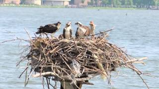 Download Osprey Love Nest 2: Feeding and Fledging Video