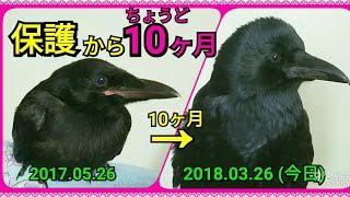 Download 【10ヶ月記念】カラス保護からちょうど10ヶ月🐣 昔の姿と見比べてみよう👀 20180326、カラス Video