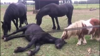 Download Afscheid van de paarden Video