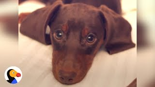 Download Dachshund Puppy is Master of Puppy Dog Eyes | The Dodo Video
