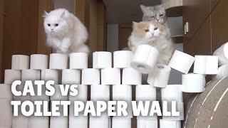Download Cats vs Toilet Paper Wall Video