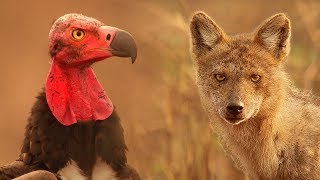 Download Vultures Vs Crow Vs Jackal - Lands of the Monsoon - BBC Video