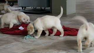 Download Labrador Puppies For Sale David and Linda Smucker 12 Video