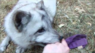 Download Playing with my pet arctic fox Video