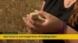 Download Девушка по дороге на дачу увидела в поле несколько тысяч яиц Video