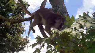 Download Cat yells for the monkey and he answers Video